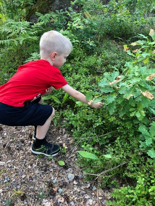 Liten pojke plockar blåbär